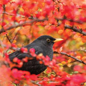 Postcard common blackbird