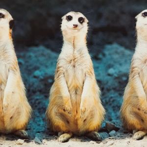Postcard three meerkats
