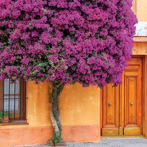 Postcard blooming bougainvillea tree