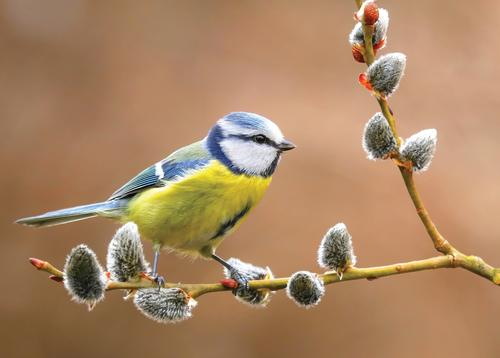 blue tit on willow branch - picture 1