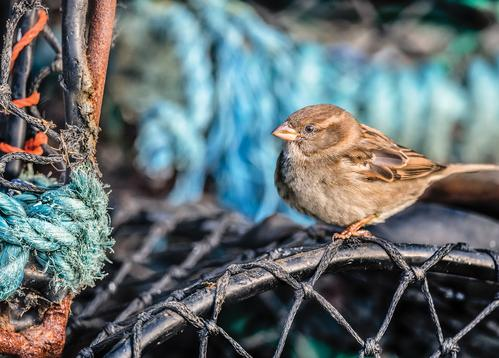 house sparrow - picture 1
