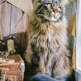 maine coon - picture 1