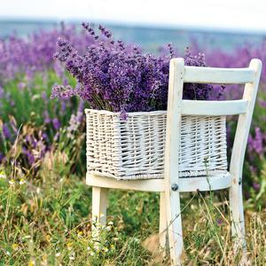 Postcard lavender in the basket