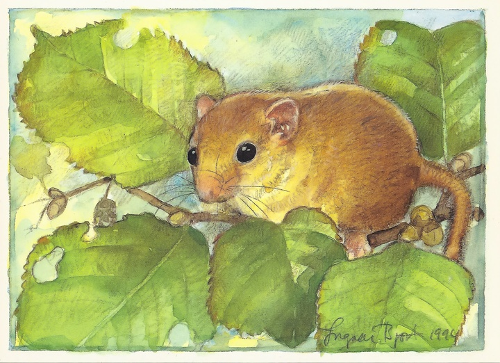 forest dormouse - picture 1