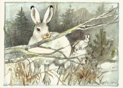mountain hare - picture 1