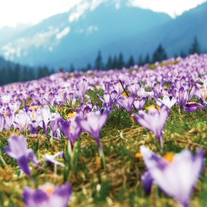 Postcard crocuses in tatras