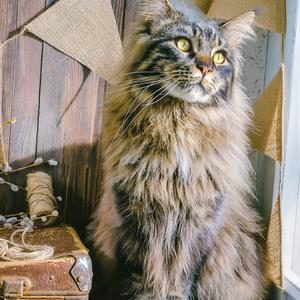 Postcard maine coon