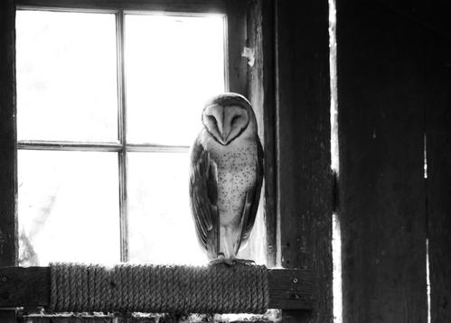 barn owl - picture 1