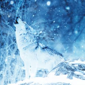 Postcard winter howl