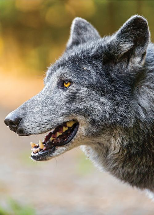 profile of a grey wolf - picture 1