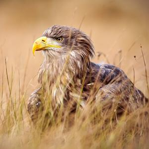 Postcard white-tailed eagle