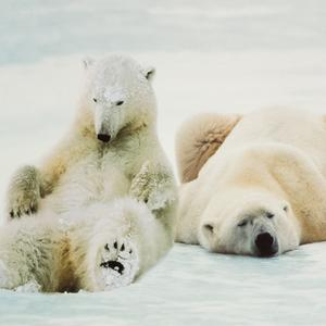 Postcard polar bears
