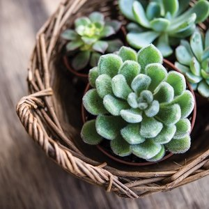 Postcard succulents in a basket