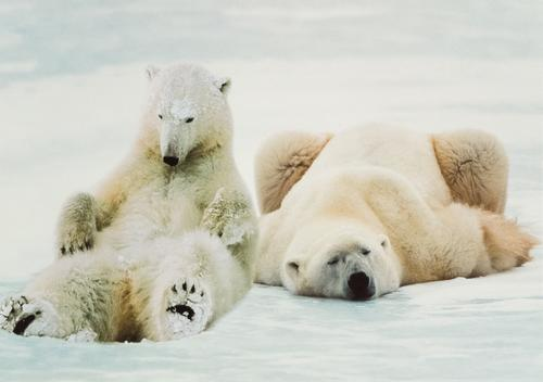 polar bears - picture 1