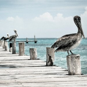 Postcard pier with pelicans