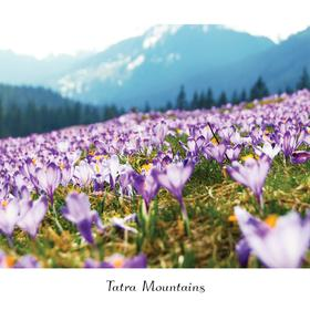 crocuses in tatras - picture 1