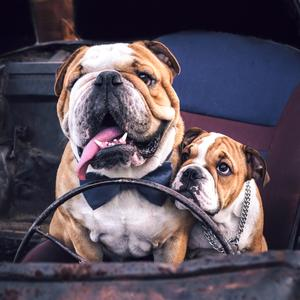 Postcard bulldogs in the old car