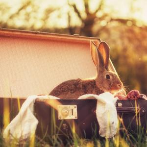 Postcard rabbit in a suitcase