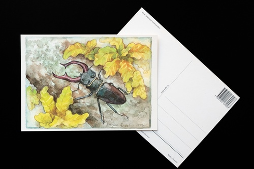 stag beetle - picture 2