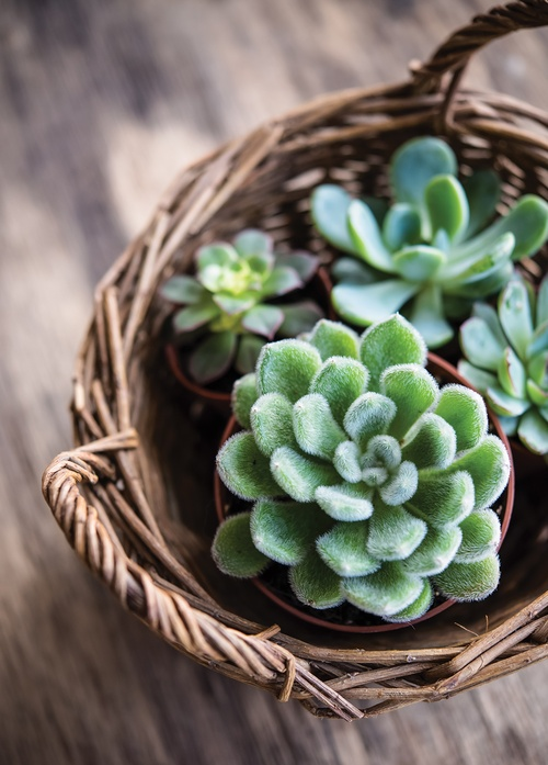 succulents in a basket - picture 1