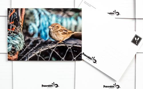 house sparrow - picture 2