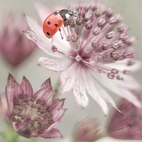 Collection pastelove - ladybird