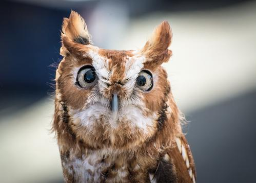 eastern screech owl - picture 1