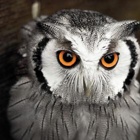 scops owl - picture 1
