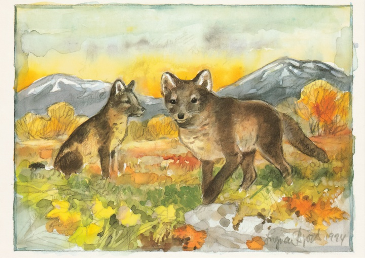 arctic foxes - picture 1