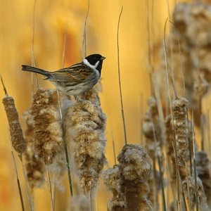 Postcard common reed bunting