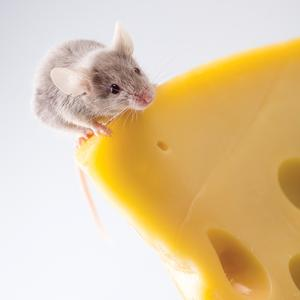 Postcard mouse on cheese