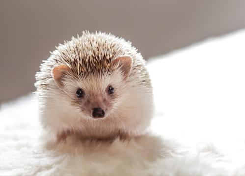 hedgehog - picture 1