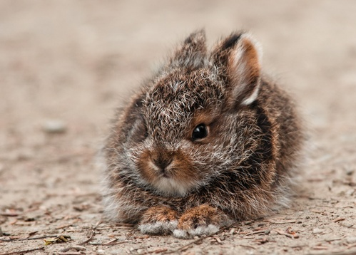 snowshoe hare - picture 1