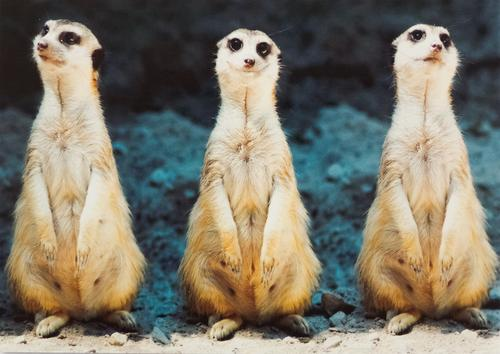three meerkats - picture 1