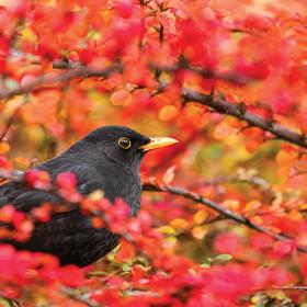 common blackbird - picture 1