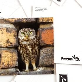 little owl - picture 2