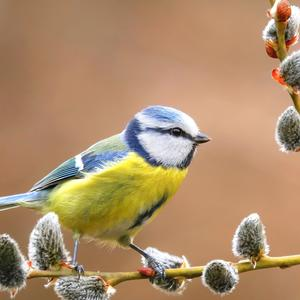Postcard blue tit on willow branch